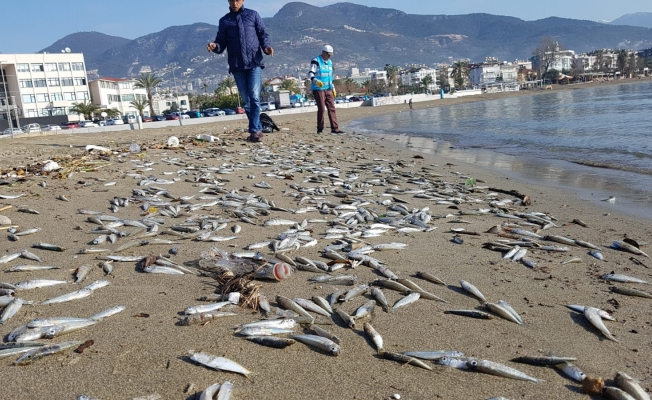 Alanya'da on binlerce balık sahile vurdu