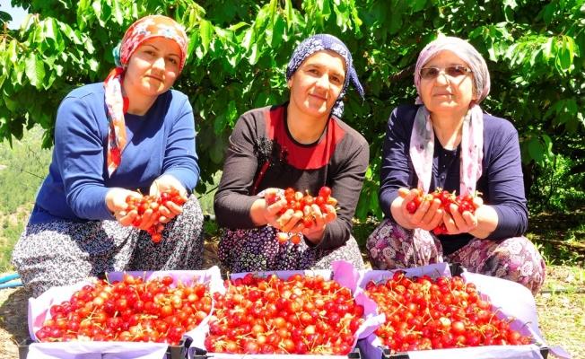 Kilosu 30 TL kiraza  şarkılı türkülü hasat