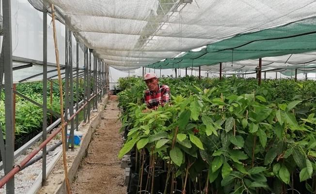 Alanya'da 8 çeşit avokado yetiştiriliyor