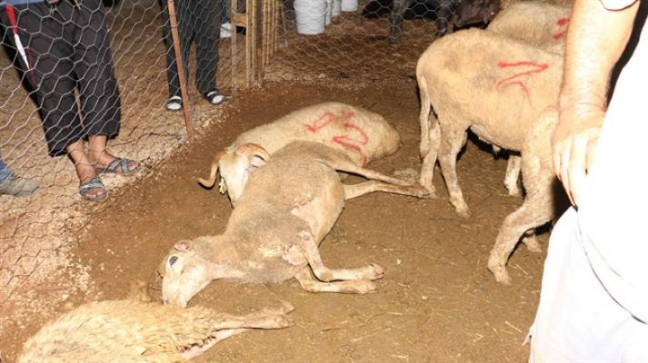 Alanya'da kurbanlıklar zehirlenip telef oldu!