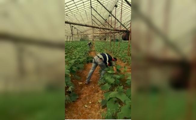 Serada salatalıkların arasına ekilmiş bin 260 kök kenevir ele geçirildi