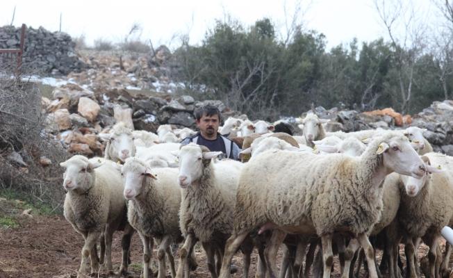 Boyundan büyük koyunlara çobanlık yapıyor