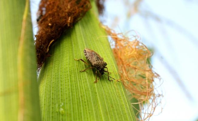 Kahverengi Kokarca 300'den fazla meyve ve bitkiye zarar veriyor