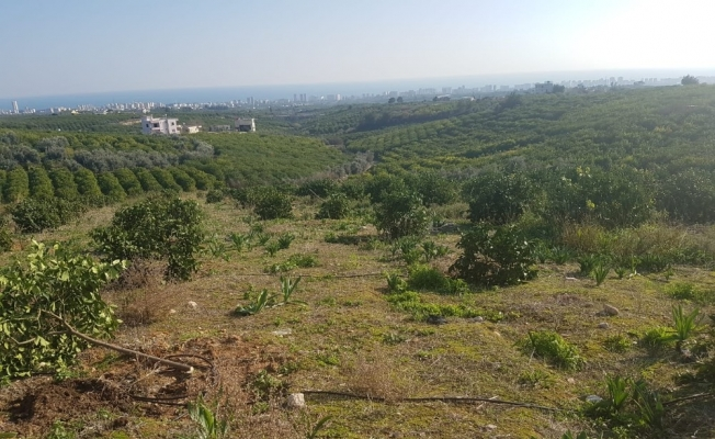 Orman arazisine dikilen limon ağaçları kesildi