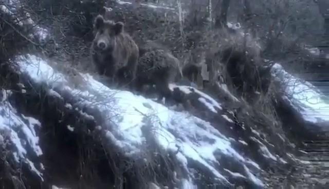 Aç kalan yaban domuzları köye indi