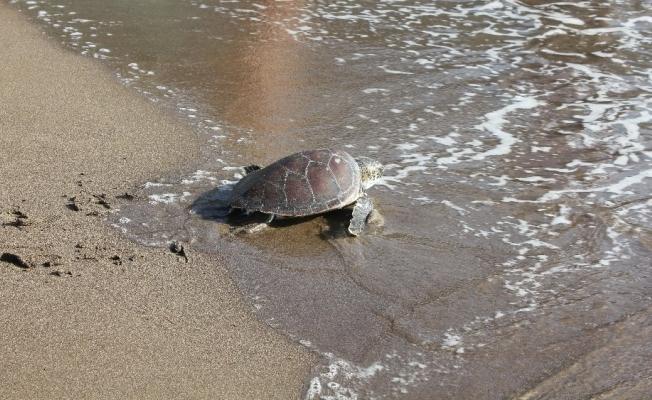 Muğla'da tedavisi tamamlanan deniz kaplumbağaları doğal ortamına kavuştu