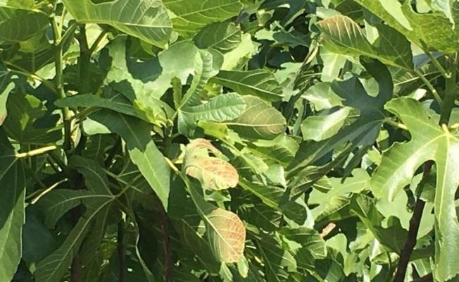 İncir yapraklarında hava değişiminden kaynaklı renk değişimi yaşandı