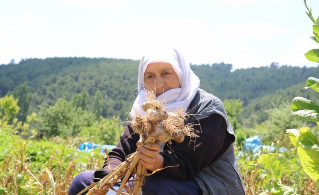 Hisarcık'ta sarımsak hasadı başladı