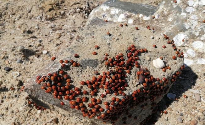 Saros sahilleri uğur böcekleri ile kırmızıya büründü