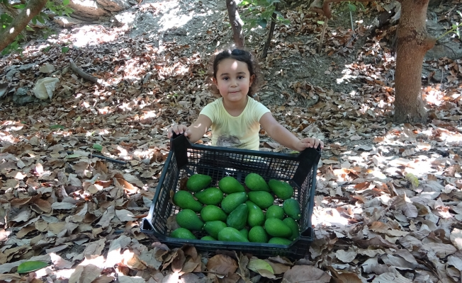 Alanya'da avokado hasadı başladı