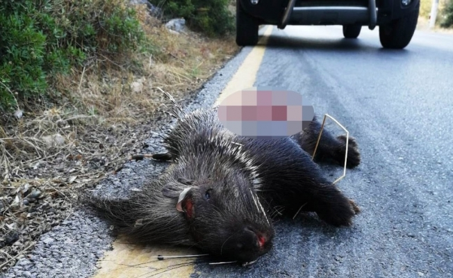 Koruma altındaki hayvanı gözlerini kırpmadan vurdular