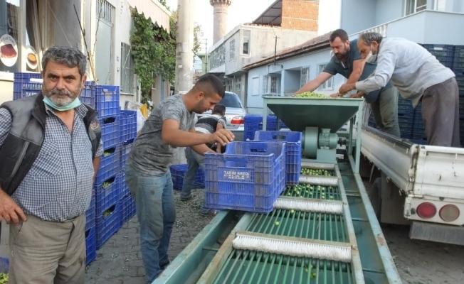 Burhaniye'de Tarım Kredi Kooperatifi zeytin alımına başladı