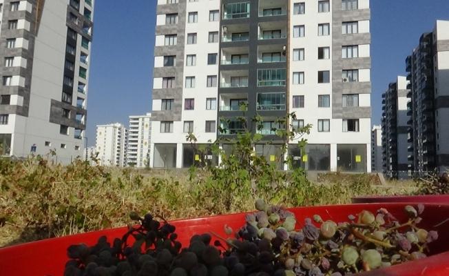 Diyarbakır'da milyonluk binalar arasında bağbozumu zamanı
