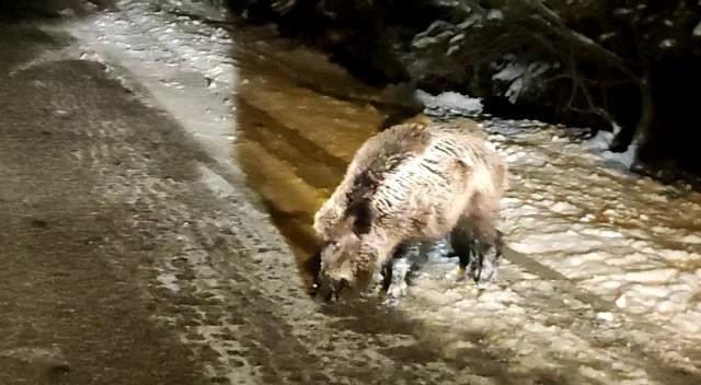 Milli parka inen yaban domuzu böyle görüntülendi