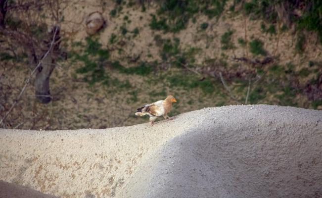 Türkiye'de üreyip Afrika'da yaşayan tek akbaba türü Kapadokya'da objektiflere yansıdı