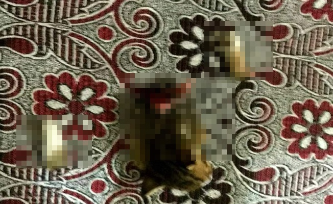 Alanya'da yavru kedi vahşeti