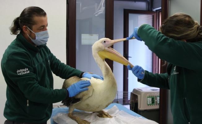 Avcıların engelli bıraktığı pelikanlar ikinci baharını yaşıyor