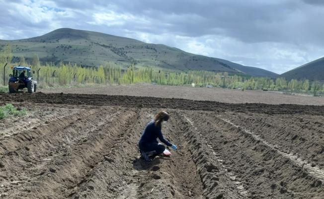 Bayburt Üniversitesi uygulama ve araştırma sahalarında ve serasında önemli tarım çalışmaları yürütülüyor