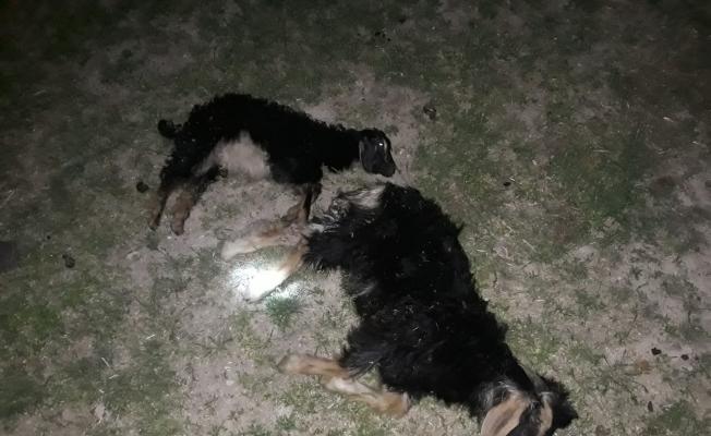 Bulanık'ta sokak köpekleri 4 oğlağı telef etti