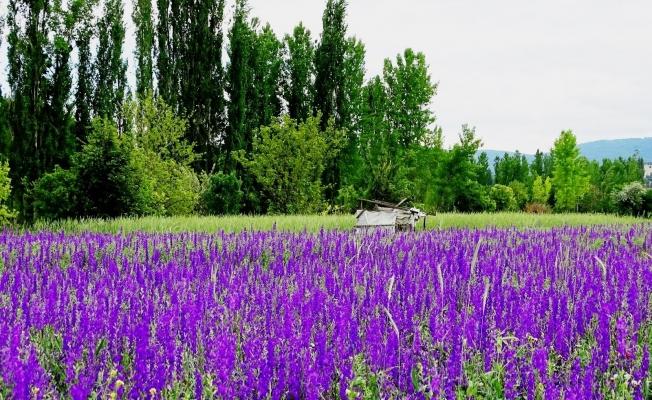 Hisarcık'ta mor çiçeklerin görsel güzelliği