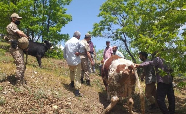 Mahsur kalan ineği jandarma ekipleri kurtardı
