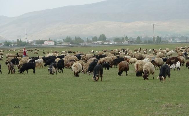 Muş'ta çoban sıkıntısı