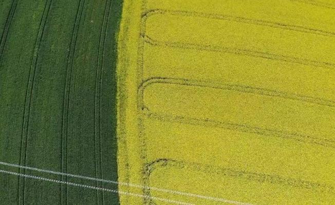 (Özel) Tekirdağ'da 'Sarı bahar'