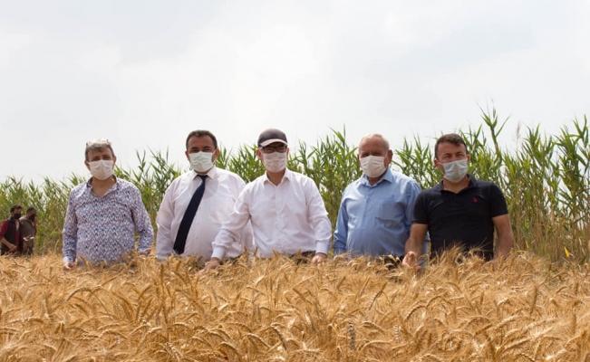 Silifke'de yerli tohum ekimi yapılan buğday çeşitleri hasat edildi