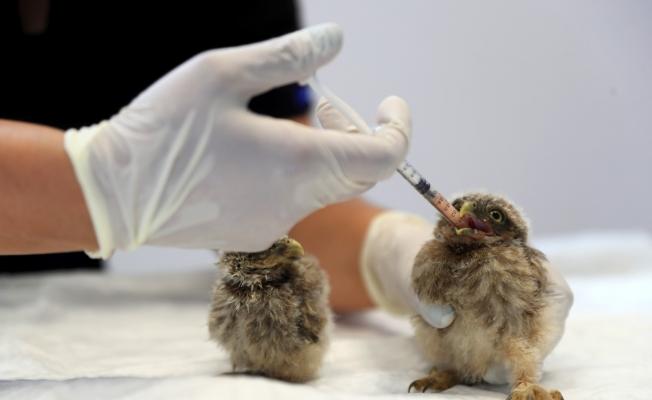 Yuvalarından düşen kuş yavrularına anne şefkatinde bakım