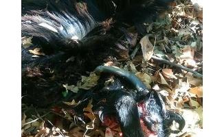 Gazipaşa'da aç kurtlar mahalleye saldırdı, 4 hayvanı telef etti
