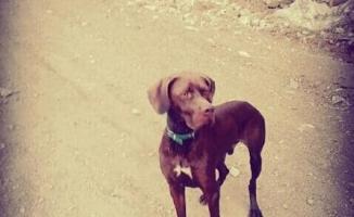 Kayıp av köpeğini her yerde arıyor