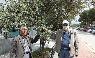 Burhaniye'de son yağışlar zeytine ilaç oldu