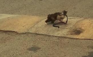 Yolda bulduğu 1 metrelik yılanı ağzına alıp götüren kedi pes dedirtti