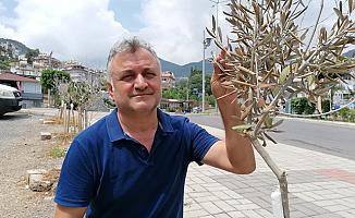 Alanya'da zeytin fidanlarını kuruttular