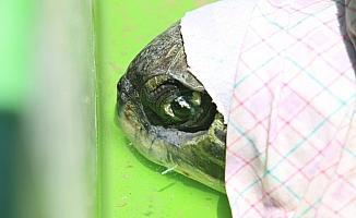 Kaş'ta gözleri görmeyen deniz kaplumbağası tedaviye alınacak