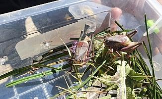 Hakkari'de sürüngen ve böcek türleri tespit edildi