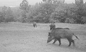 Doğadaki yaban hayvanların yaşam sırları fotokapanda