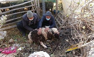 Pitbull cinsi köpekler ağılda adeta katliam yaptı: 6 koyun telef oldu