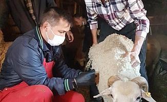 Hisarcık'ta çiçek hastalığına karşı 3 bin küçükbaş hayvan aşılandı