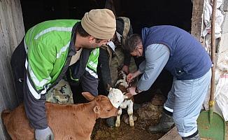 Düzce'de 46 bin büyükbaş hayvan aşılandı
