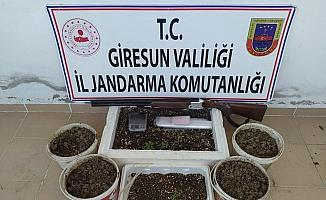 Giresun'da 198 kök kenevir bitkisi ele geçirildi