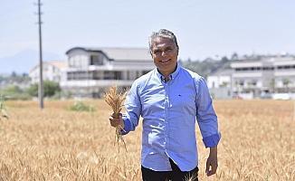 Muratpaşa'da buğdaylar sarardı