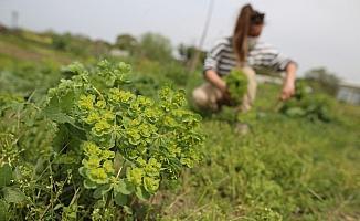 (Özel) Yerel tohum ve ürünlere doğal ilaçlama