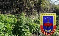 Alanya'da bin 240 kök hint keneviri ele geçirildi