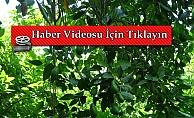 Alanya'da hasadı başlanan avokadoda hedef 50 milyon adet