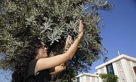 6 asırlık anıt ağaç koruma altında ilk meyvesini verdi