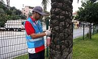 Alanya'da kırmızı palmiye böceğiyle mücadele ediliyor