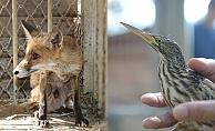 Yaralı tilki yavrusu ve iki balaban kuşu tedavi edildi