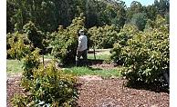 Alanya'da avokado hırsızı yakalandı