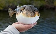Balıkçıların balon balığı heyecanı
